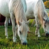 white ponies 2
